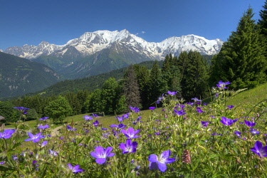 France, Auvergne-Rhone-Alpes, Haute Savoie, Saint Gervais les bains, Bettex, field of geraniums flowers in the Communailles and the massif of Mont Blanc