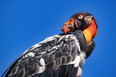France, King Vulture (Sarcoramphus papa), bioparc of Doue La Fontaine