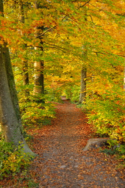 Foliage-covered forest path in the Zurich Oberland, Switzerland, Europe