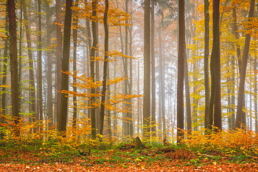Forest with wafts of mist, Zuercher Oberland, Switzerland, Europe