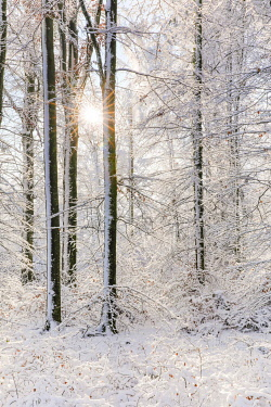 Snowy mixed forest, Zurich Oberland, Switzerland, Europe
