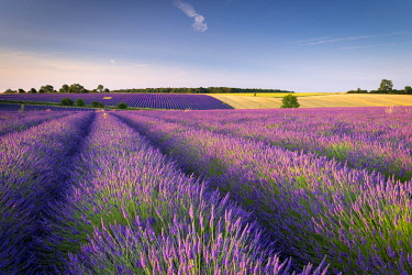 Flowering lavender field in the Cotswolds, Snowshill, Gloucestershire, England.