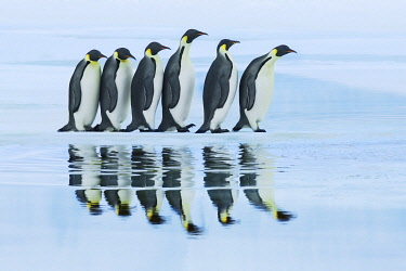 Emperor penguin group on way to rookery - Antarctica, Antarctic Peninsula, Snowhill Island