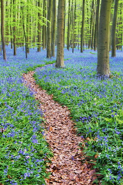 Hiking trail through beech forest with bluebells - Belgium, Flanders, Halle, Hallerbos