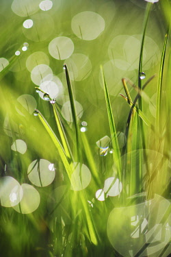 Grass and dew - Germany, Bavaria, Upper Bavaria, Bad T�lz-Wolfratshausen, Kochel, Grossweil - Alps, Lake Kochel