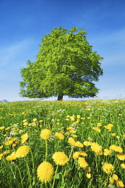 European beech in dandelion meadow - Germany, Bavaria, Swabia, OstAllgau, Rieden - Allgau, Forggensee