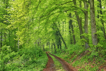 Hiking trail in beech forest - Germany, Baden-Wurttemberg, Freiburg, Konstanz, Stockach, Espasingen - Hegau