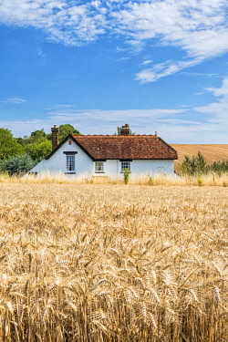 House in the wheat near Chilham, Kent, England