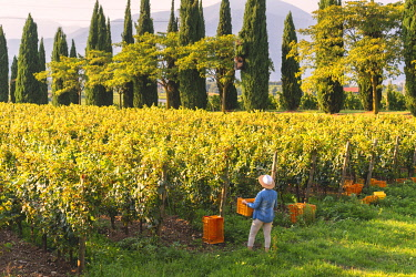 Harvest in Franciacorta, Brescia province in Lombardy district, Italy, Europe. (MR)
