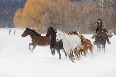 Cowboys during winter roundup, Kalispell, Montana