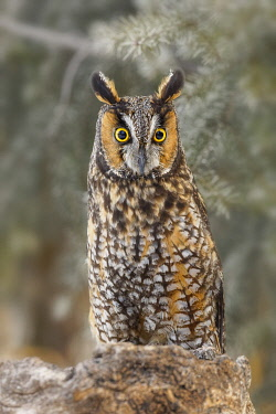 Long-eared owl, Asio otus, controlled situation, Montana