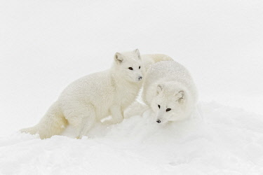Arctic fox in winter coat on snow, Vulpes lagopus, controlled situation