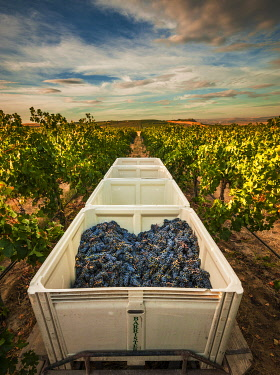 USA, Washington State, Pasco. A bin of merlot grapes at harvest.