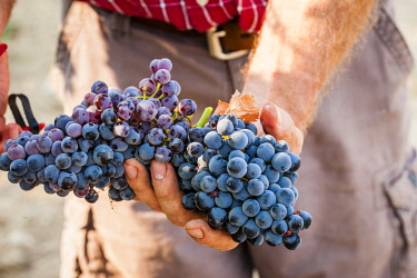 USA, Washington State, Yakima Valley. Clusters of Grenache grapes in a Yakima Valley vineyard.