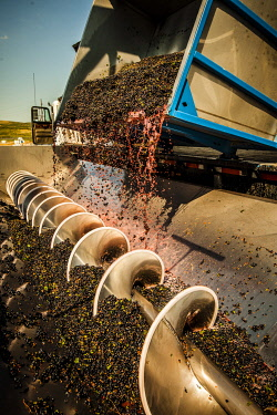 USA, Washington State, Walla Walla. Red wine grapes being processed in a stainless steel crushing machine.