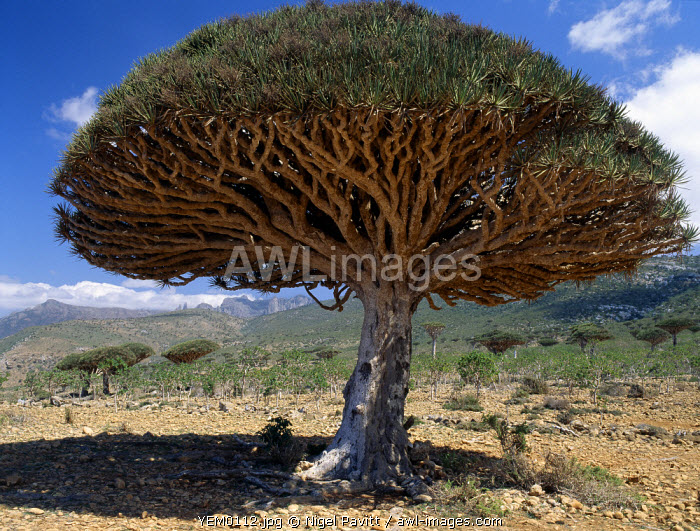 Dragon's Blood Trees (Dracaene cannabari) are endemic to Socotra Island and flourish above 3,000 feet. Their closest relative is found the other side of the African continent in the Canary Islands.Men harvest the bright red resin of the Dragon's blood Tree every three to four years.  Once known as Indian Cinnabar,  it used as a natural dye.  Small quantities are also used on the island to decorate pottery and as a medicine; women drink a decoction of it to stop internal haemorrhaging.  It was widely used in Roman times as an antiseptic for wounds.  For centuries, the best Italian violin-makers used it to stain wood.