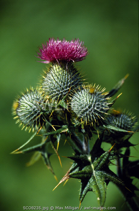 Awl Images The Ancient Symbol Of Scotland A Thistle In Bloom