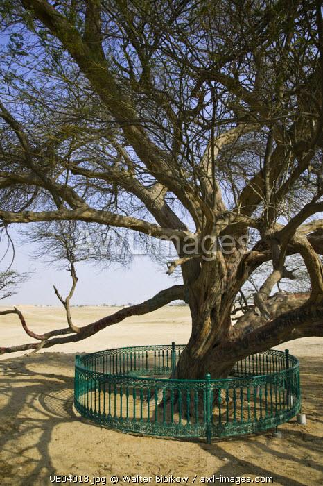 Bahrain, Al Qarah al Janubiyah Village, The Tree of Life Landmark, Mesquite Tree