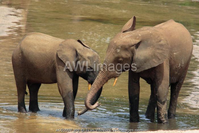 Forest Elephant (Loxodonta cyclotis), Dzanga Ndoki National Park, SW Central African Republic