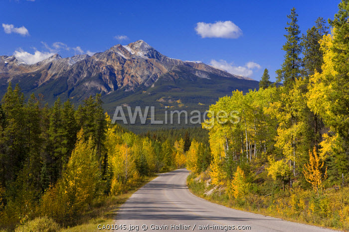 Autumn colours lining the road from Jasper to Maligne lake, Jasper National Park, BC, Canada