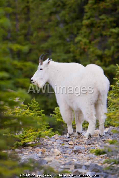 Canada, Alberta, Rocky Mountains, Jasper National Park, Mountain Goat (Oreamnos americanus)