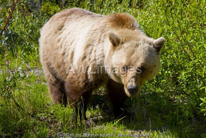 Brown bear, Jasper National park, Alberta, Canada