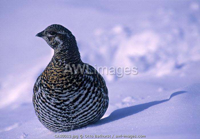 Snow Grouse, Northwest Territories, Canada