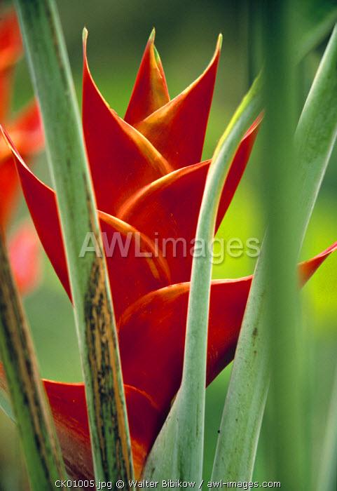 Helliconias, Rarotonga, Cook Islands