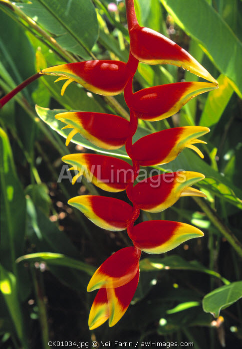 Heliconia, Cook Islands