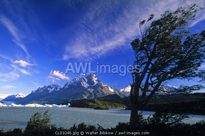 Wind Swept Tree, Torres Del Paine National Park, Chile