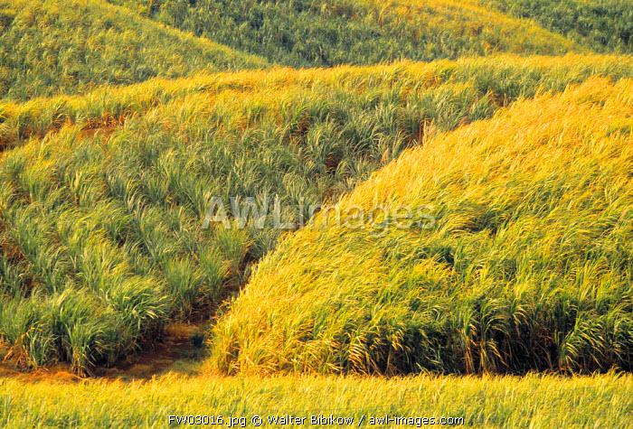 Sugar Cane Fields, Martinique, French West Indies