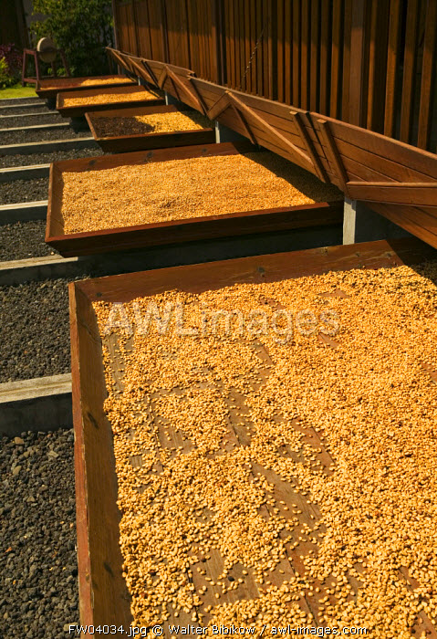 Coffee beans drying, Basse Terre, Guadeloupe, French West Indies