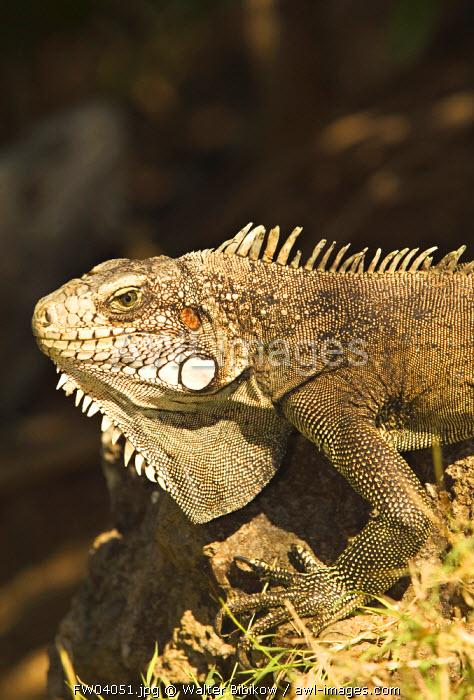 Iguana, Terre de Haut, Les Sainte Islands, Guadeloupe, French West Indies