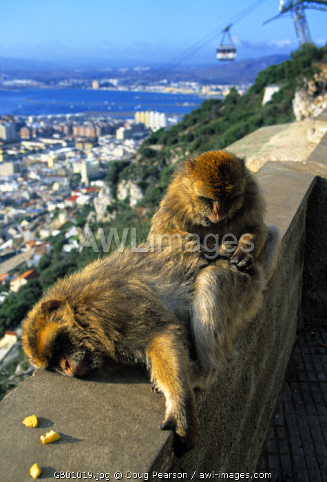 Monkeys, The Rock, Gibraltar