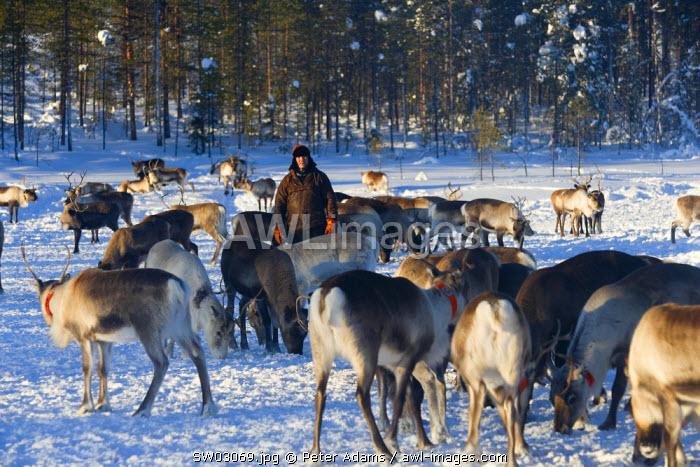 Reindeer herder & reindeer, Jokkmokk, Norrbotten, Northern Sweden