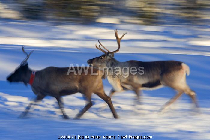 Reindeer, Jokkmokk, Norrbotten, Northern Sweden