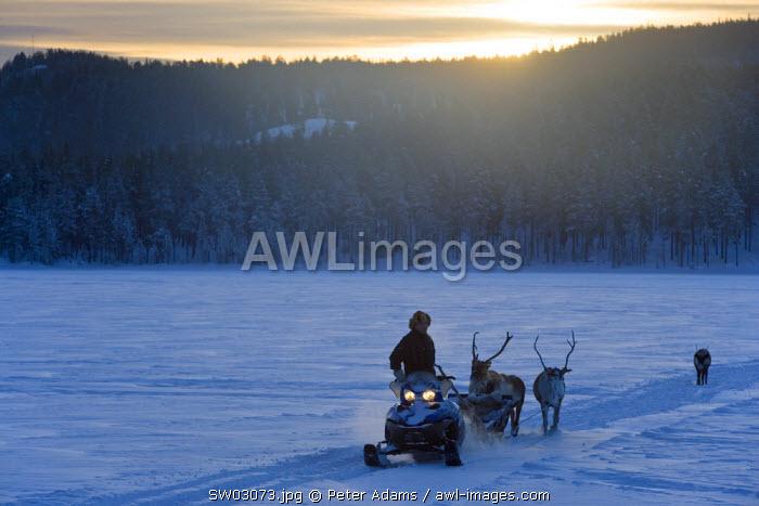 Reindeer & snowmobile, Jokkmokk, Sweden