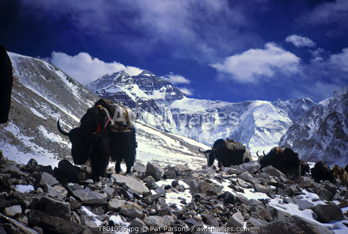 Yaks & Everest North Face, Tibet