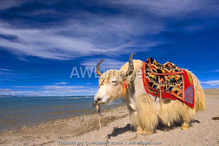 White Yak on the shore of Nam Tso Lake, Central Tibet