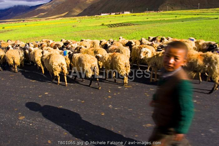 Sheep along the Friendship Highway, Tibet