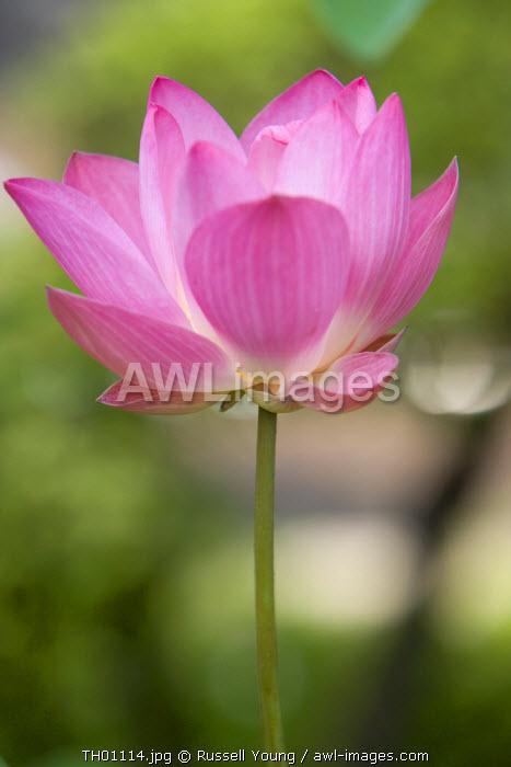 Lotus Flower, Bangkok, Thailand
