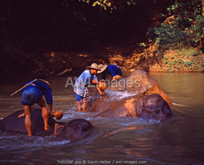 Washing elephants, Chiang Mai area, Thailand