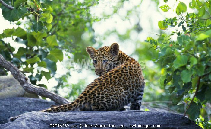 South Africa, Sabi Sands Game Reserve.  Leopard cub. (Panthera pardus).