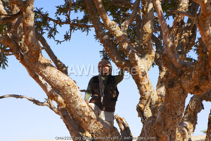 Oman, Dhofar. A Ranger from the Diwan of Royal Court of Oman, standing in a mature Frankincense tree.