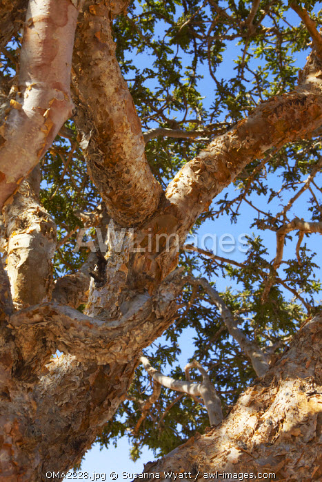 Oman, Dhofar. Detail of a mature Frankincense tree showing the typical bark flaking.