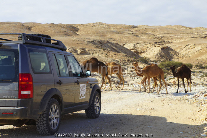 Oman, Dhofar. A Biosphere expedition landrover driving off road waits until a small herd of camels passes.