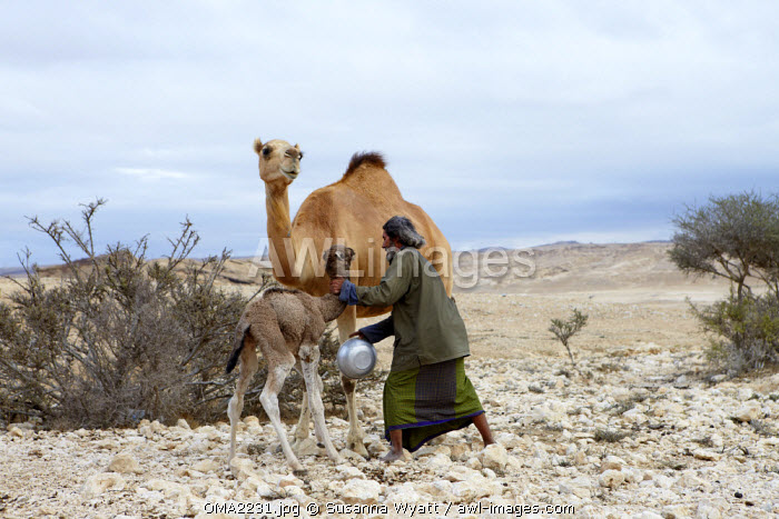 Oman, Dhofar. A camel herder catches a 7 day old baby camel so he can milk its mother.