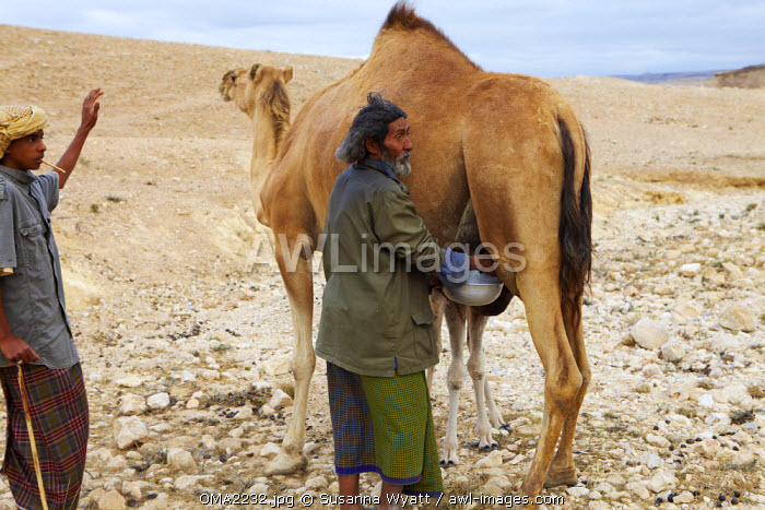Oman, Dhofar. A camel herder milks his camel, whilst his son provides some distraction to prevent him being bitten.