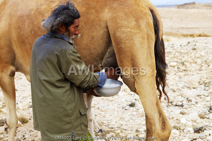 Oman, Dhofar. A camel herder milks one of his camels.