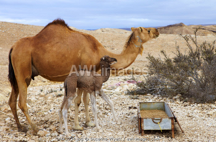 Oman, Dhofar.  An Arabian camel with her 7 day baby checks the horizon before eating.